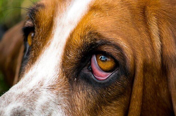 perro-con-Ectropión