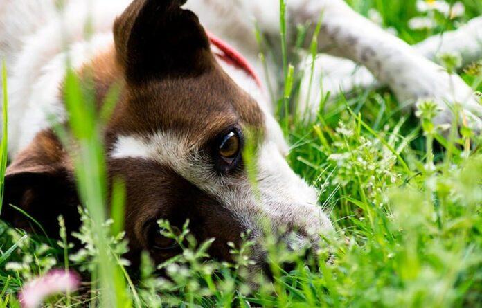 perro-con-calor-refrescandose-en-la-hierba
