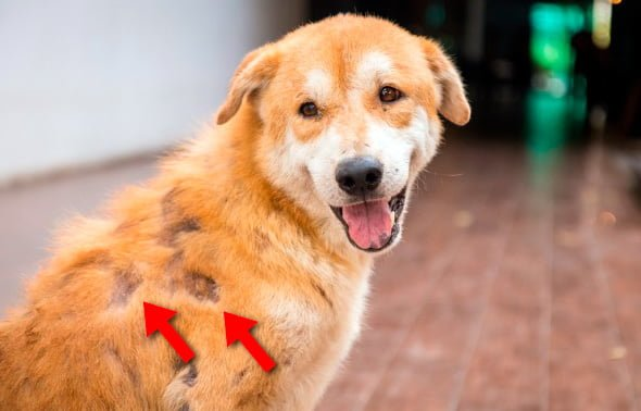 Chute de cheveux chez le chien - Causes et remèdes