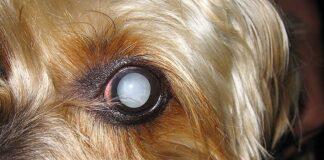 perro-con-el-ojo-blanco