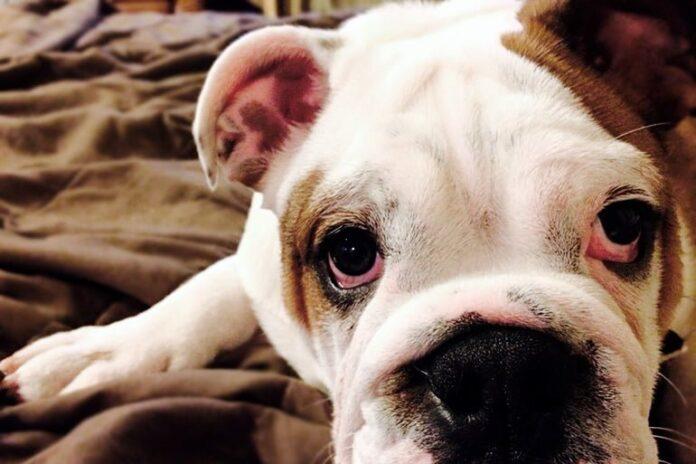 chien aux yeux rouges