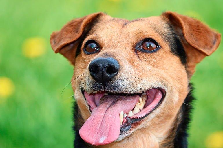 perro-jadeando