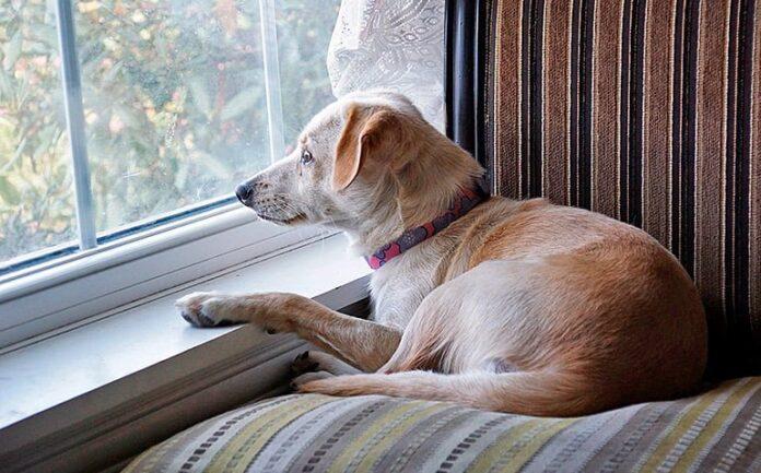chien seul à la maison regardant par la fenêtre