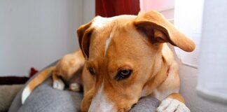 perro-tumbado-con-dolor-de-tripas-y-ruidos