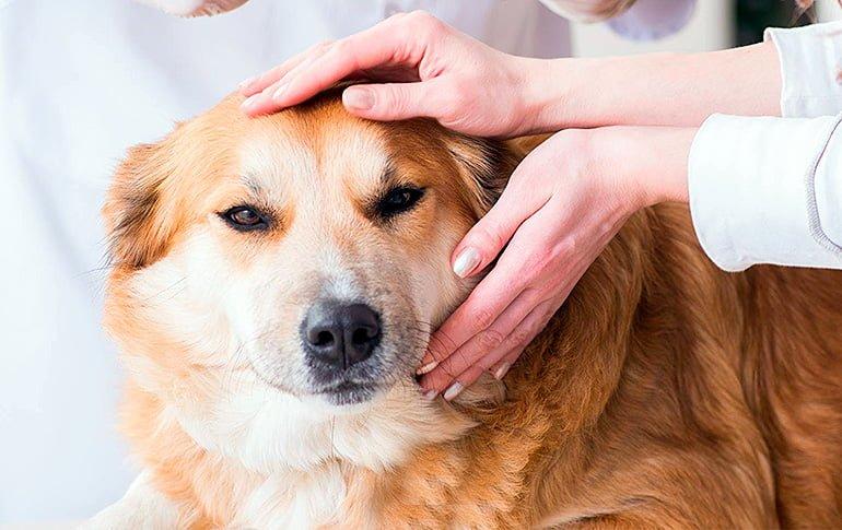Mi Perro Tiene Una Bola En El Cuello Causas