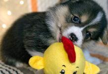 cachorro-de-perro-mordiendo-su-juguete