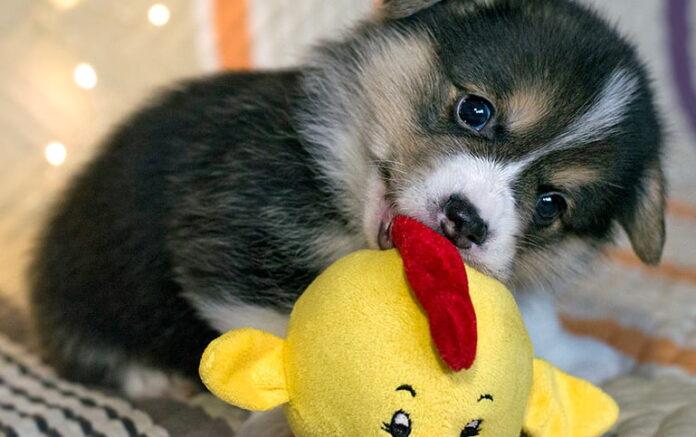 chiot-chien-mordant-son-jouet
