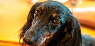 perro-adoptado-con-mirada-agradecida