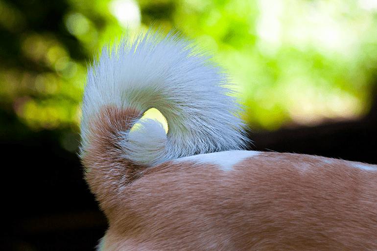 Que signifie la queue du chien relevée?