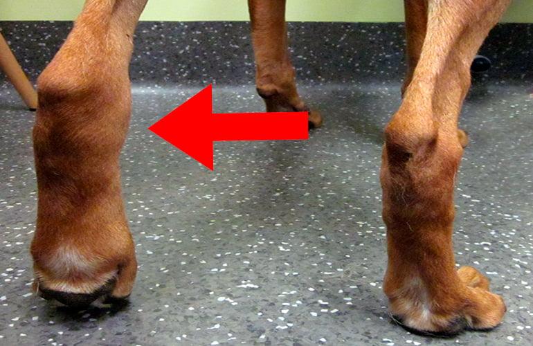 Causes des pattes enflées chez les chiens