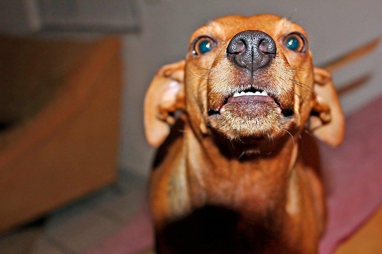 perro-desconfiado-de-un-invitado