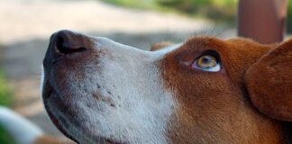 perro-mirando-fijamente-a-su-humano