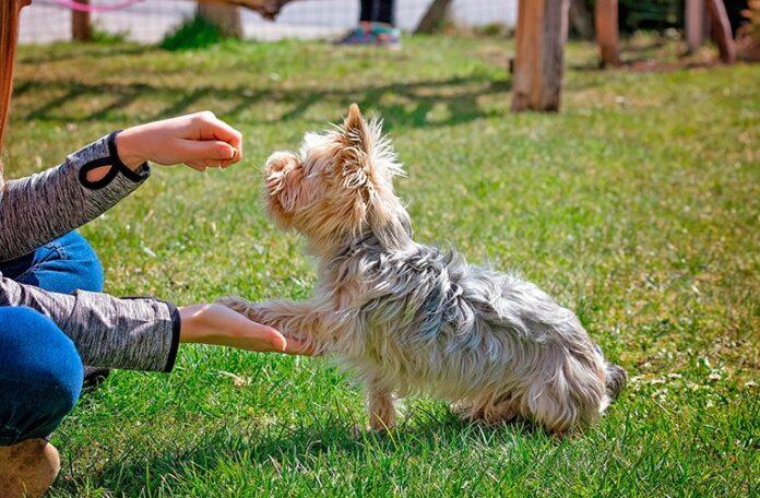 perro-pequeño-siendo-educado