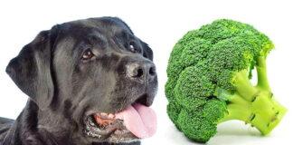 perro-y-brocoli