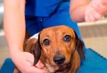 perro-con-hernia-discal