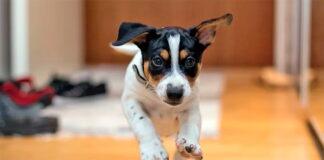 perro-corriendo-en-casa