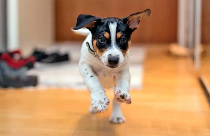 course de chien à la maison