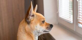 perro-mirando-por-la-ventana