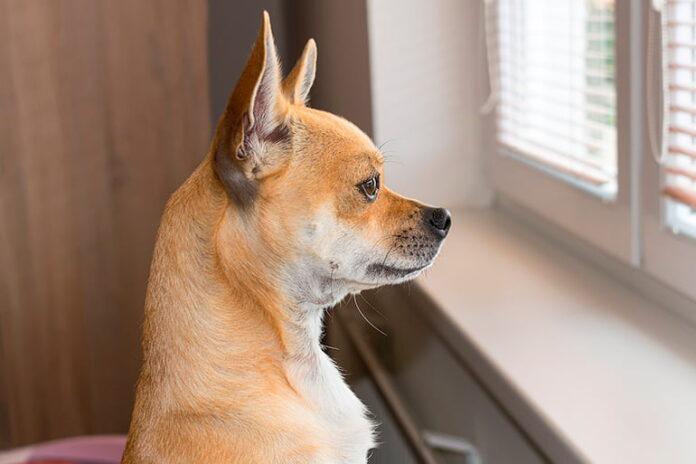 chien regardant par la fenêtre