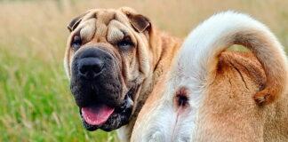 perro-mostrando-su-culo
