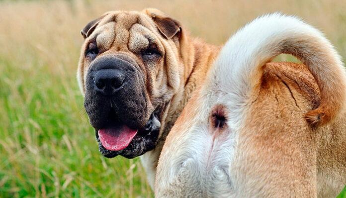Symptômes des vers de terre chez les chiens