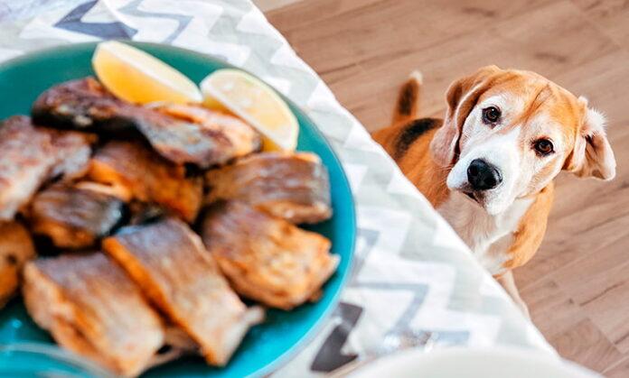 chien-regarder-la-nourriture