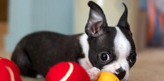perro-trae-sus-juguetes