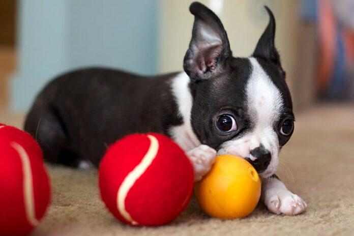 chien-apporte-ses-jouets