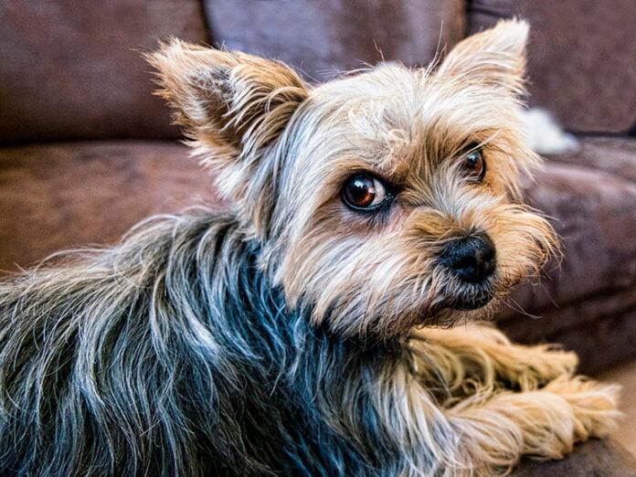 perro-tras-restregarse-contra-el-sofá