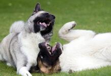 dos-perros-mordisqueandose-sobre-el-cesped