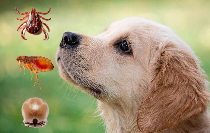 Quel est le meilleur contrôle des puces pour les chiens?