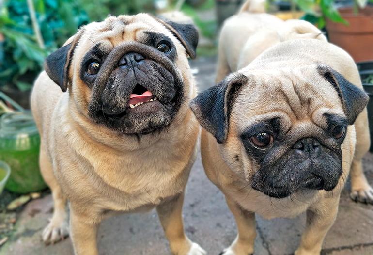 pareja-de-perros-de-pequeño-tamaño