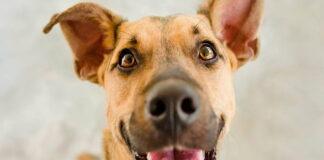 perro-atento-a-su-humano