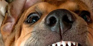 perro-con-Maloclusión