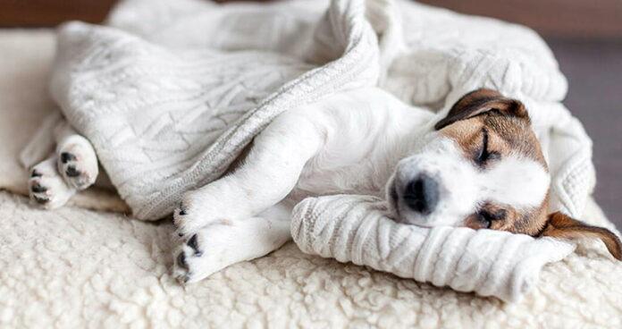 chien-dormant-et-tremblant
