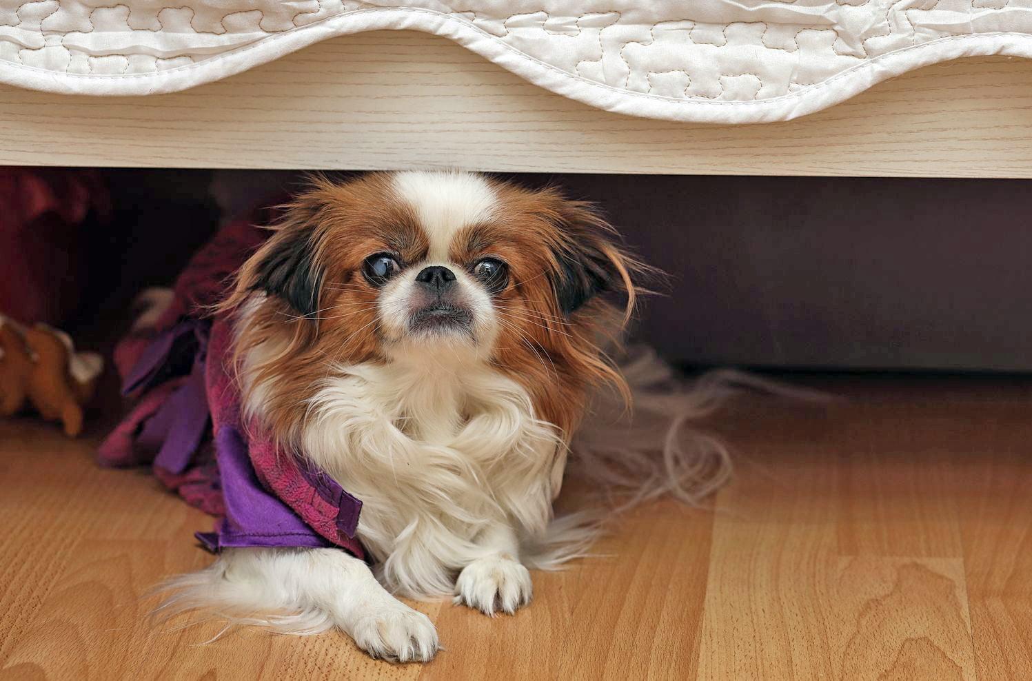 Pourquoi mon chien se cache-t-il sous le lit?