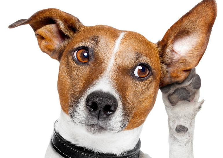 Les chiens comprennent-ils ce que nous leur disons?