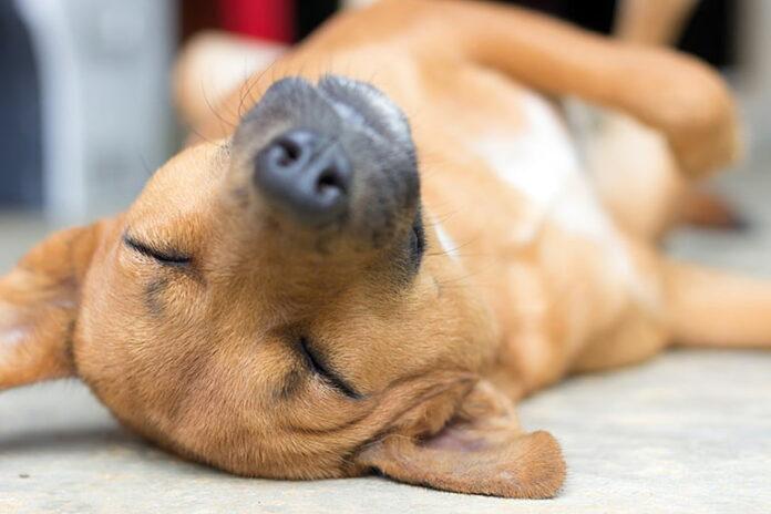 perro-muy-cansado