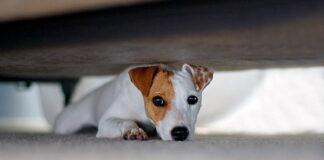 perro-se-esconde-debajo-de-la-cama