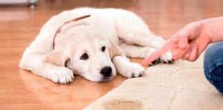 perro-se-orina-por-la-emoción-cuando-lo-acaricio