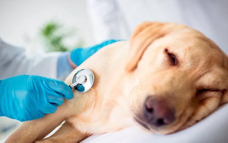 Votre chien présente-t-il des symptômes de colite?