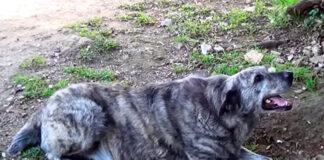 Dogo-Sardo