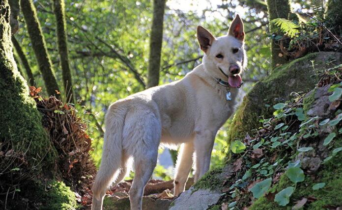 Perro-Can-de-palleiro