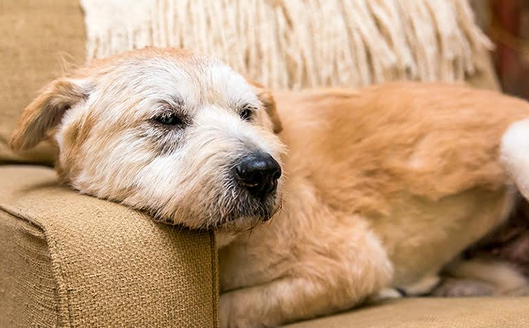 Maladies courantes chez les chiens âgés