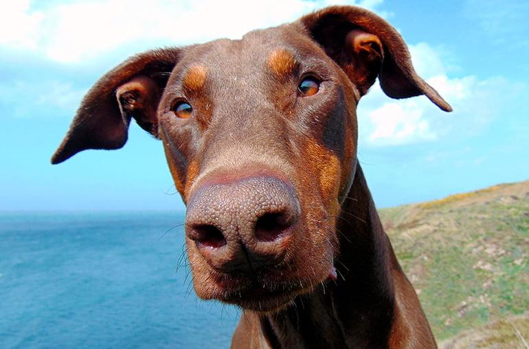 Mon chien a les oreilles tombantes
