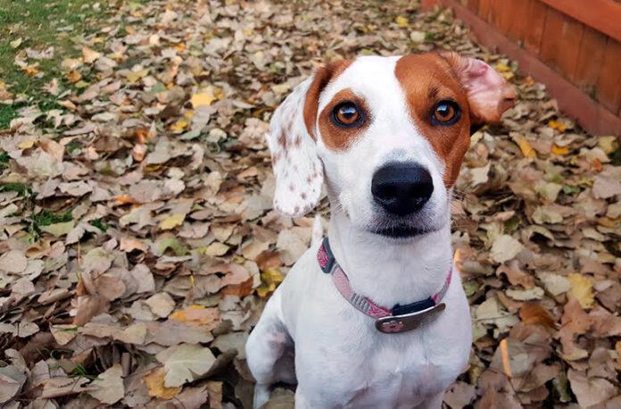 perro-con-una-oreja-caída