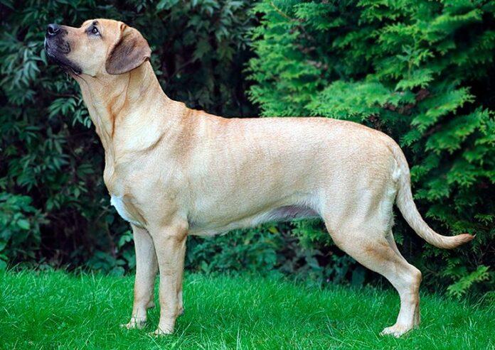 Broholmer ou Mastiff danois