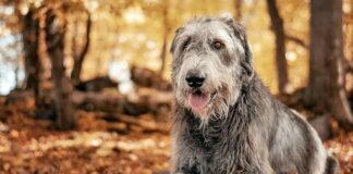 perro-de-raza-lobero-irlandés