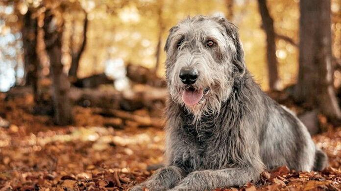 chien-de-race-irish-wolfhound