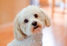 perro-de-raza-maltipoo
